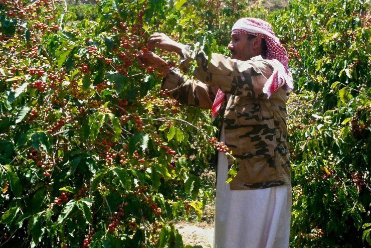 Yemeni Farmer Picking Coffee Cherries